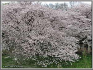 Apr01_10_NogawaMusashinoPk_CherryBlossomsRC