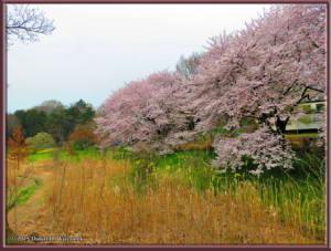 Apr01_25_NogawaMusashinoPk_CherryBlossomsRC