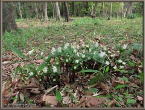 Apr01_60_NogawaMusashinoPk_Chloranthus_japonicusRC