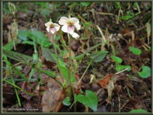 Apr12_22_Hikage_Kagenobu_Viola_yezoensisRC