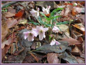 Apr12_65_Hikage_Kagenobu_Viola_yezoensisRC
