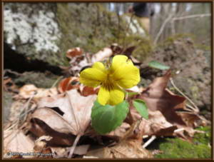 Apr18_18_BoundaryBusStopArea_Viola_orientalisRC