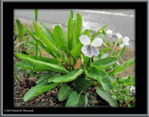 April1st_NogawaPark059_ViolaBetonicifoliaVarAlbescensRC