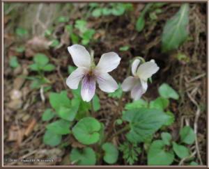 Apr1_100_Takao_Hikage_Viola_yezoensisRC