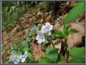 Apr1_42_Takao_Hikage_Omphalodes_japonicaRC
