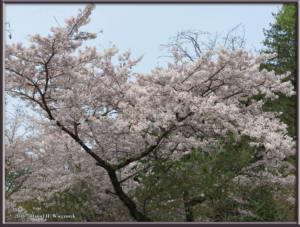 Apr9_04_MinamiTakao_CherryBlossomsRC