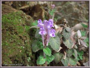 Apr9_30_MinamiTakao_Scutellaria_indica_var_parvifoliaRC