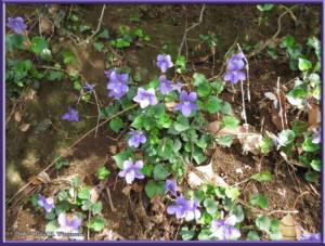 Apr9_34_MinamiTakao_Viola_grypocerasRC