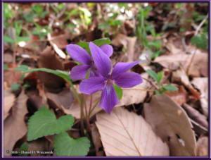 Apr9_44_MinamiTakao_Viola_phalacrocarpa_f_glaberrimaRC