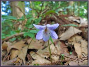 Apr9_58_MinamiTakao_Viola_bissetiRC