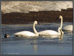 Apr17_02_CreamersField_TrumpeterSwansRC