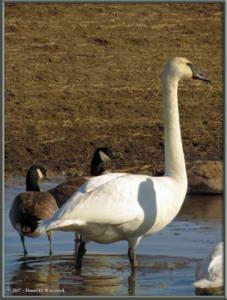 Apr17_24_CreamersField_TrumpeterSwansRC