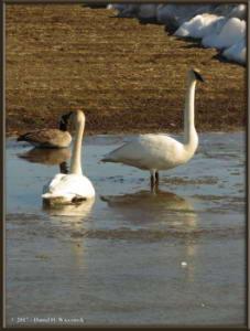 Apr17_26_CreamersField_TrumpeterSwansRC