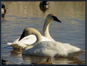 Apr17_46_CreamersField_TrumpeterSwansRC