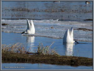 Apr27_10_CreamersField_TrumpeterSwansRC