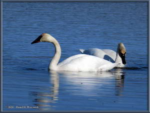 Apr27_19_CreamersField_TrumpeterSwansRC