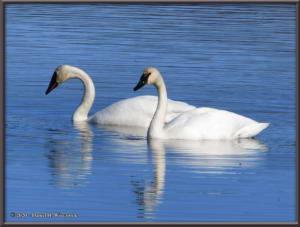 Apr27_21_CreamersField_TrumpeterSwansRC