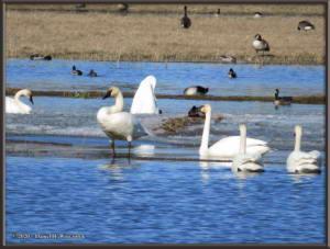 Apr27_32_CreamersField_TrumpeterSwansRC