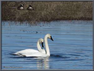 April22nd_023_CreamersField_CygnusBuccinatorRC