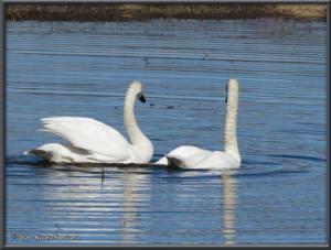 April22nd_030_CreamersField_CygnusBuccinatorRC