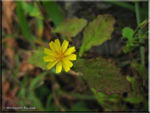 MtHinode6_YellowFlower01RC.jpg