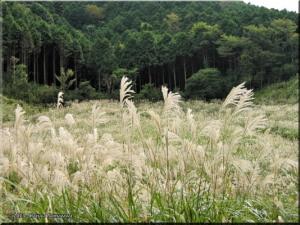 06Oct_SengokuKogen_Susuki_Miscanthus_sinensis33RC.jpg