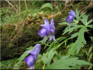 07Oct_MtKomagatake_MtKamiyamaTrail03_MonkshoodRC.jpg