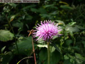 Oct16_27_MtTakao_Thistle_RC