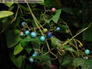 Oct16th_MtTakao005_AmpelopsisGlandulosaVarHeterophylla_RC