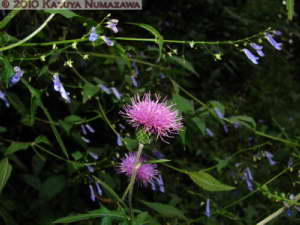 Oct16th_MtTakao008_CirsiumOligophyllum_RC