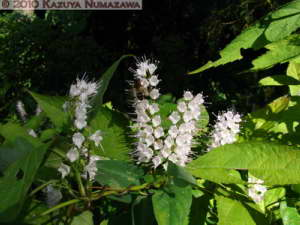 Oct16th_MtTakao018_KeiskeaJaponica_RC