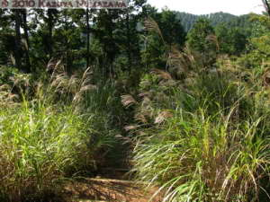 Oct16th_MtTakao024_MiscanthusSinensis_RC
