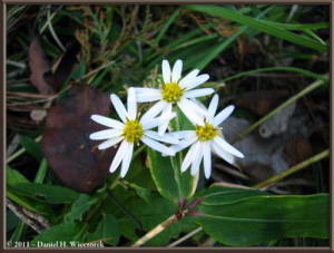 Oct28_ICChoDaira_36_ChrysanthemumRC