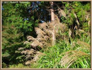 Oct28_Takao_20_Miscanthus_sinensisRC