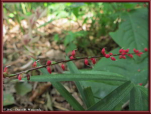 Oct13_11_JindaiBG_Polygonum_filiformeRC