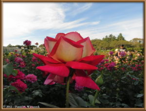 Oct13_48_JindaiBG_RoseGardenRC