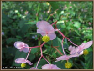 Oct03_02_NogawaPark_Begonia_grandisRC