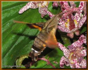 Oct24_22_JindaiBotGarden_HummingbirdHawkMoth_PartRC