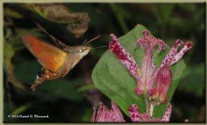Oct24_24_JindaiBotGarden_HummingbirdHawkMoth_PartRC