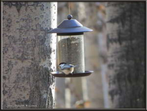 Oct8_5_OurYard_Black_Capped_ChickadeeRC