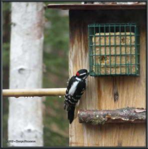 Oct10th_001_WoodpeckerRC