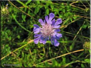 MtMyoujinScabiosa_japonica09RC.jpg