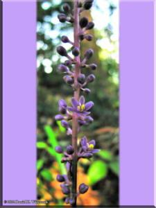 Sep3Takao_Liriope_muscari01bRC.jpg