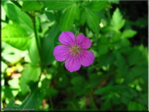 Sep02_Nogawa_Geranium_nepalense_ssp_thunbergii01RC.jpg