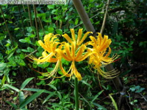 Sep15_ShowaKinen_JapaneseGarden05_Amaryllis_Lycoris_traubiiRC.jpg