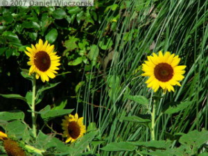 Sep15_ShowaKinen_Sunflower05RC.jpg