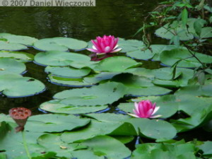 Sep15_ShowaKinen_WaterLily03RC.jpg