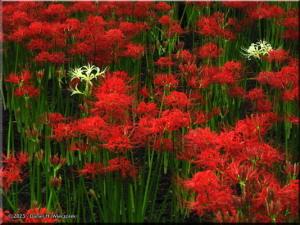 Sep24_HidakaCity_Lycoris_radiata13_Red_WhiteRC.jpg