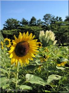 ShowaKinenP62_SunflowerRC.jpg
