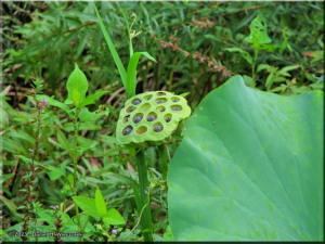 Sep07_JindaiAquaGarden_Lotus01RC.jpg
